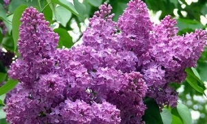 the use of lilacs to treat varicose veins
