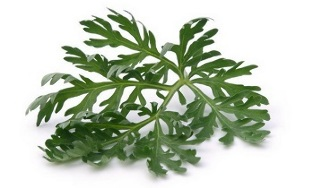the use of wormwood to treat varicose veins